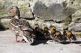 Mommy Wild duck with cute little ducklings on patio poster