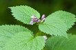 Stinging nettle flowers and leaves