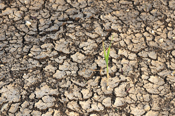 single Plant grow on a dry land in Drought time