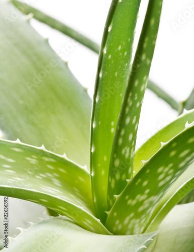 Foto op Canvas Cactus aloe vera on white background