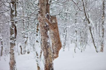 A Female Lynx climbs a tree