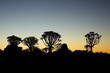 Silhouettes of quiver trees at sunset
