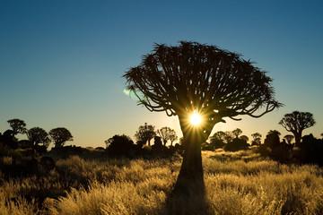 Sun shining trough a quiver tree