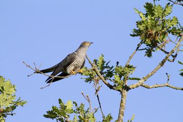 Cuculo, cuckoo