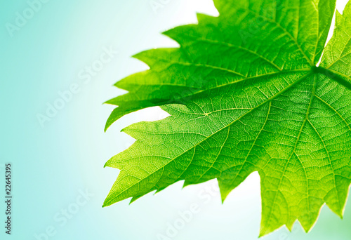Close up of vine leaf