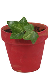 Green ivy in pot. Isolated white