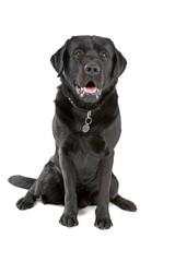 black labrador retriever dog looking at camera