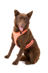 australian kelpie dog isolated on a white background