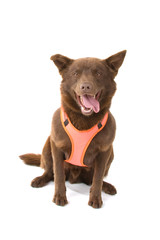 chocolate brown Australian Kelpie,also known as Kelpie or Barb