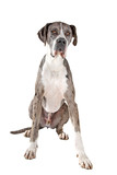 great dane dog isolated on a white background poster