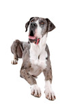 front view of a great dane dog looking up poster