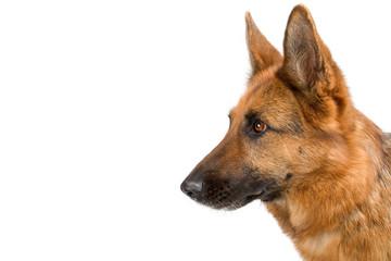side view of a head of  german shepherd dog