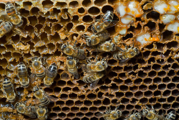 Bees on honeycomb 1