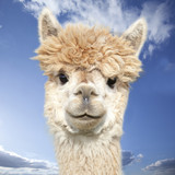 White alpaca watching you in front of blue sky with clouds