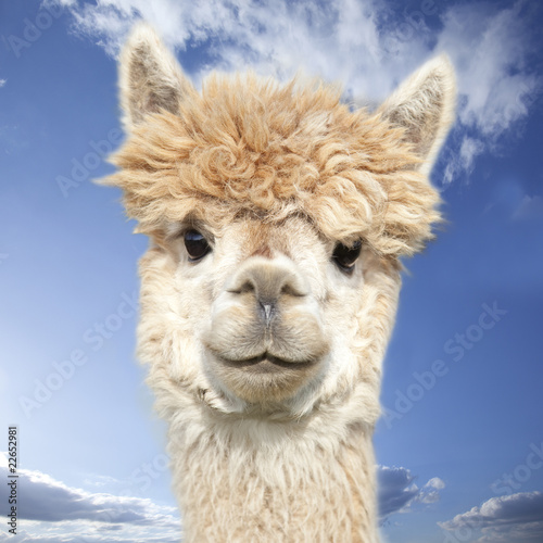 Foto op Aluminium Lama White alpaca watching you in front of blue sky with clouds