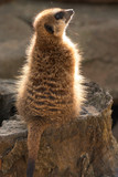 suricate sitting on stub poster