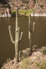 Saguaro Cactus on the Apache Trail, Arizona