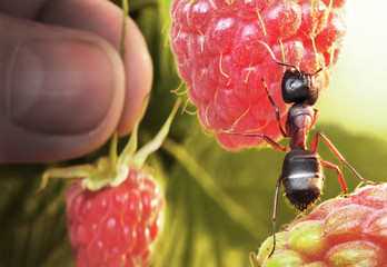 raspberry morning, ant and human take berries