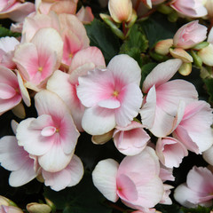 Light pink flowers of tuberous begonias