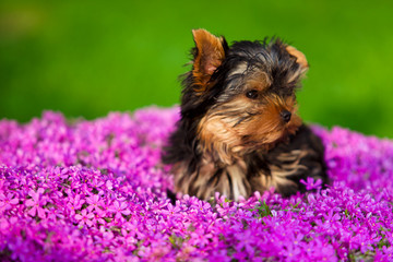 Little dog - Yorkshire Terrier