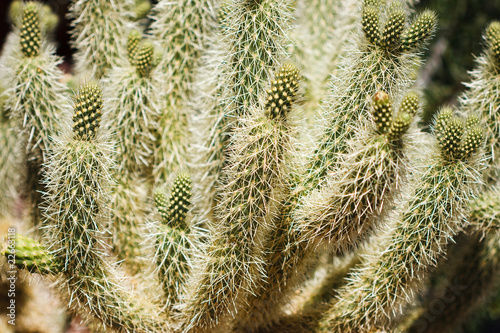 Teddy Bear Cholla Cactus