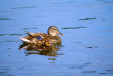 Mallard with duckling