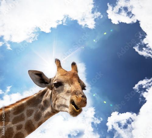 Żyrafa na niebiesko