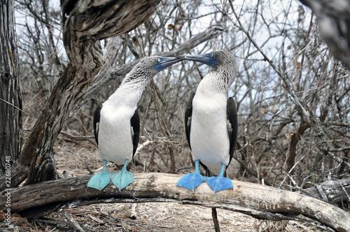 Cortejo de Piqueros de patas azules
