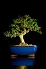 bonsai hochkant