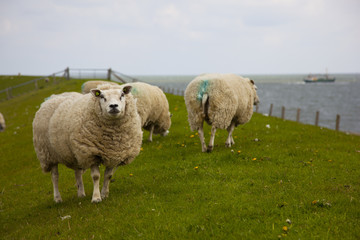 sheep in the dike on texel, the netherlands