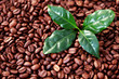 coffee beans with coffe leaves