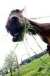 pferd kauend