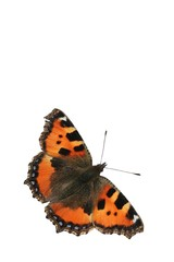 Isolated small tortoiseshell