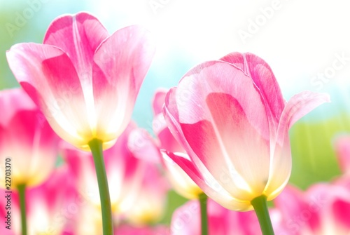 Closeup of tulips - 22703370