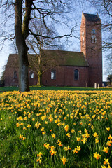Field of narcissus flowers with church