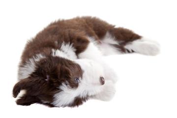 Playful beardie pup