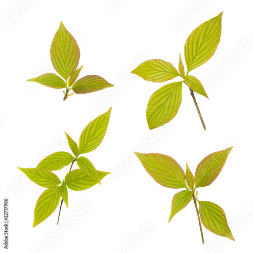 Young leaves isolated on white