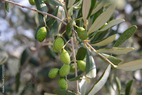Canvas Olijfboom Grüne Oliven am Baum