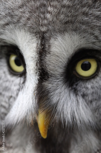 Great Grey Owl 3