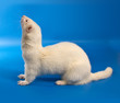 Weasel albino on a blue background