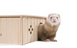 Home ferret emerges from his house