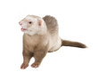 Pastel color ferret on a white background