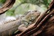 Iguana in a tree