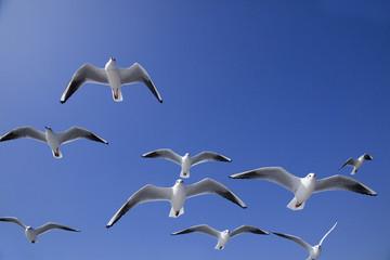 青空にカモメの編隊飛行