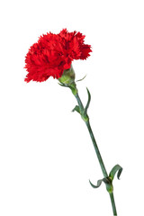 red carnation with exact hand made clipping path