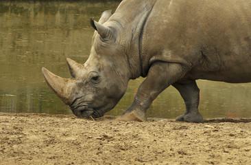 Rhinocéros près du lac