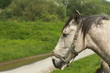 Cavalli & Muso II