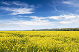 yellow rape field with blue sky