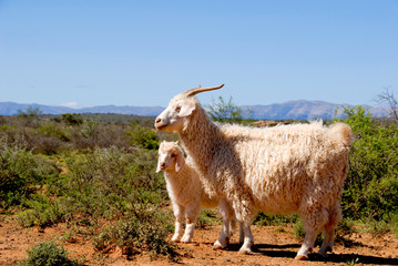 Adult Angora goat with lamb