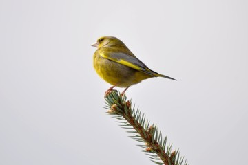 Green goldfinch 4